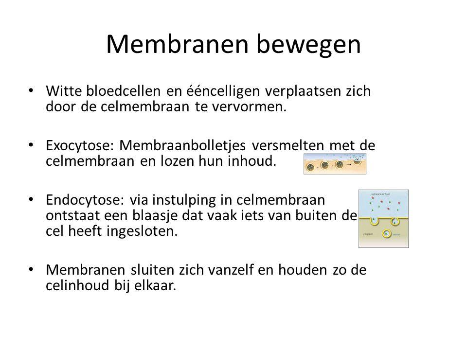 Membranen bewegen • Witte bloedcellen en ééncelligen verplaatsen zich door de celmembraan te vervormen. • Exocytose: Membraanbolletjes versmelten met