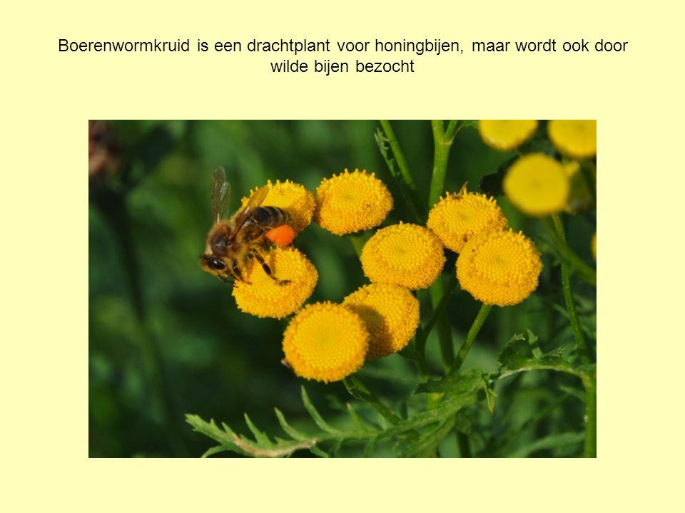 Boerenwormkruid is een drachtplant voor honingbijen, maar wordt ook door wilde bijen bezocht