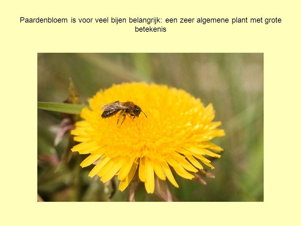 Paardenbloem is voor veel bijen belangrijk: een zeer algemene plant met grote betekenis