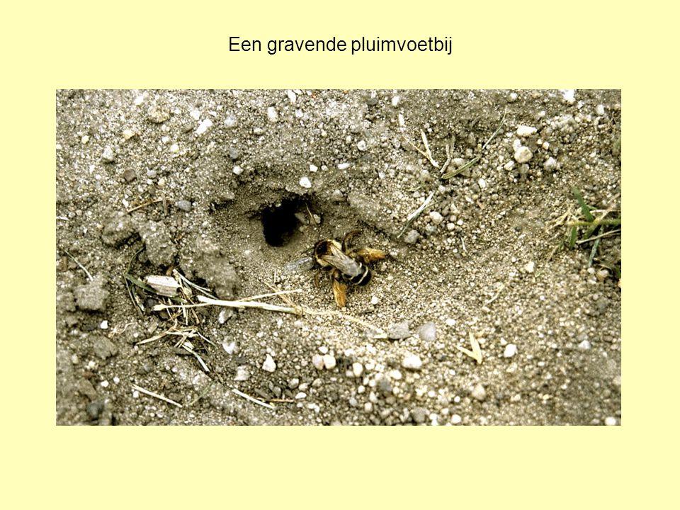 Een gravende pluimvoetbij