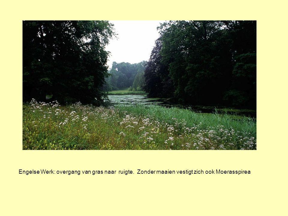 Engelse Werk: overgang van gras naar ruigte. Zonder maaien vestigt zich ook Moerasspirea