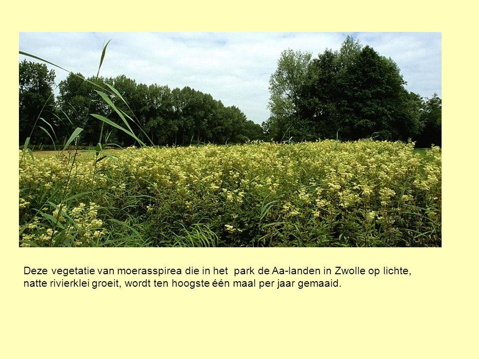 Deze vegetatie van moerasspirea die in het park de Aa-landen in Zwolle op lichte, natte rivierklei groeit, wordt ten hoogste één maal per jaar gemaaid