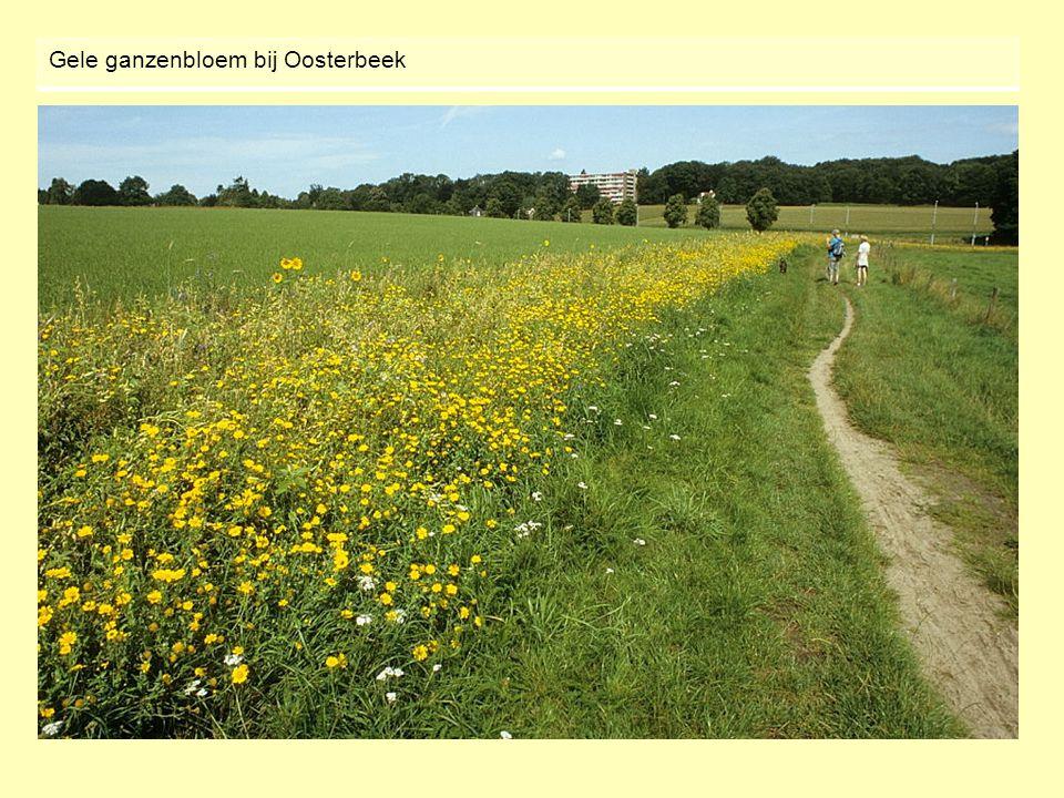 Gele ganzenbloem bij Oosterbeek
