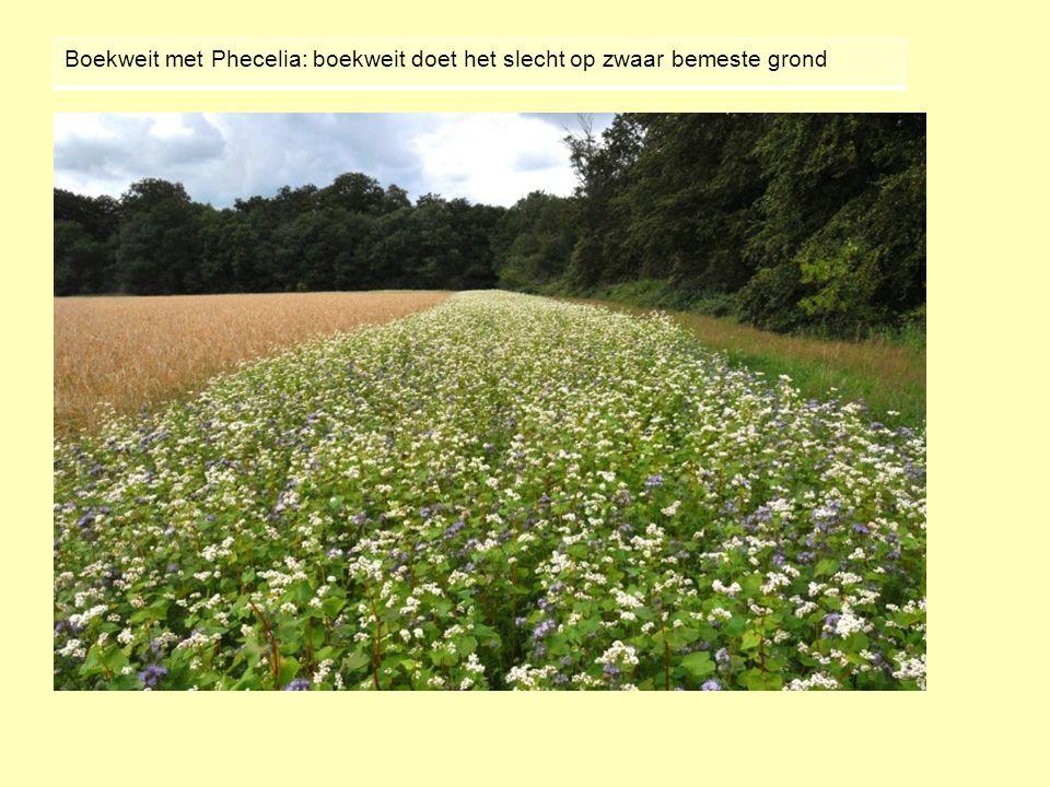Boekweit met Phecelia: boekweit doet het slecht op zwaar bemeste grond