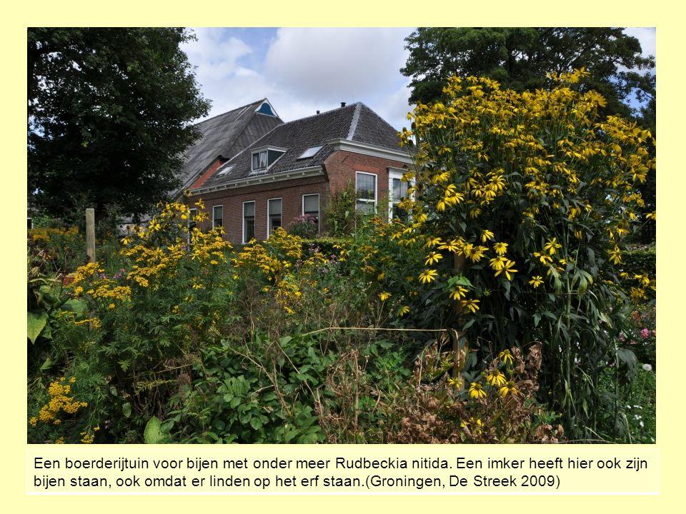 Een boerderijtuin voor bijen met onder meer Rudbeckia nitida. Een imker heeft hier ook zijn bijen staan, ook omdat er linden op het erf staan.(Groning