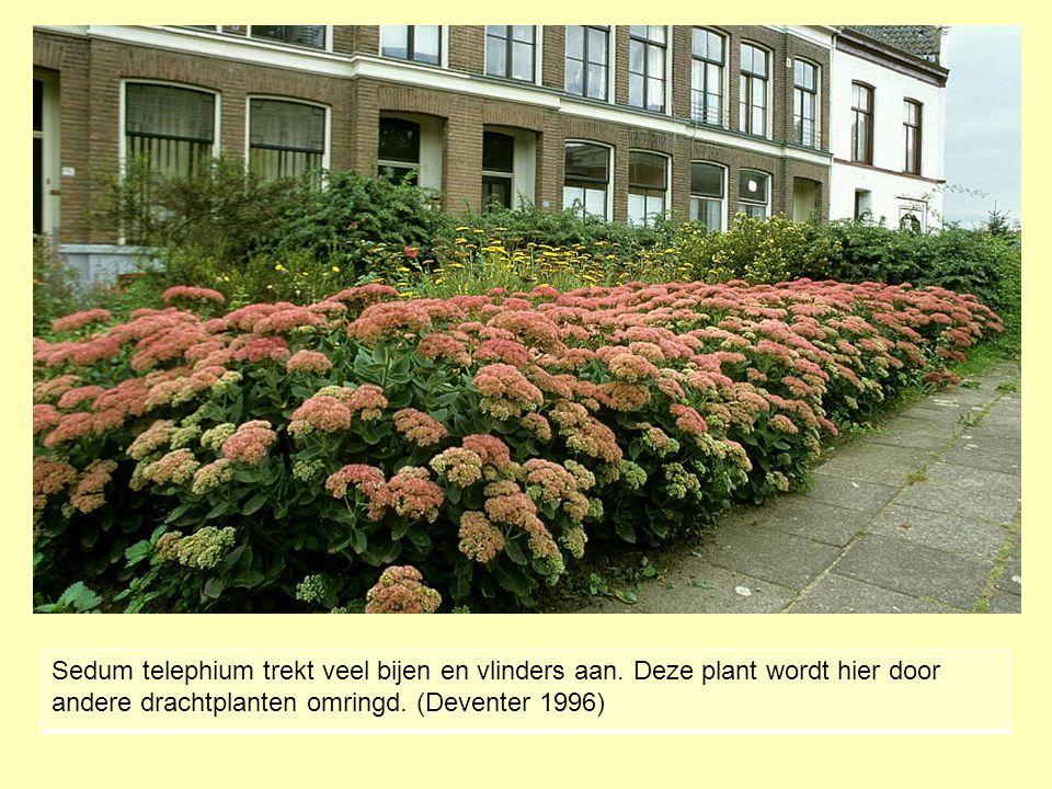 Sedum telephium trekt veel bijen en vlinders aan. Deze plant wordt hier door andere drachtplanten omringd. (Deventer 1996)