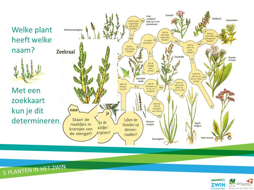 Welke plant heeft welke naam? Met een zoekkaart kun je dit determineren. 5 PLANTEN IN HET ZWIN