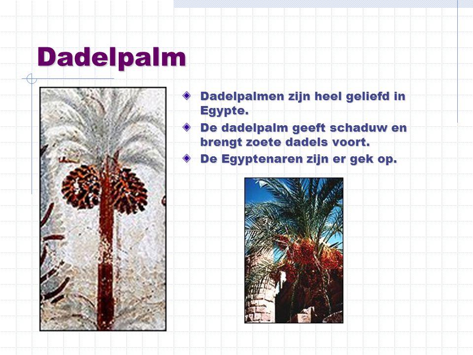 Dadelpalm Dadelpalmen zijn heel geliefd in Egypte. De dadelpalm geeft schaduw en brengt zoete dadels voort. De Egyptenaren zijn er gek op.