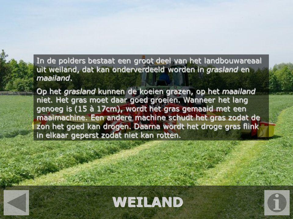 WEILAND In de polders bestaat een groot deel van het landbouwareaal uit weiland, dat kan onderverdeeld worden in grasland en maailand. Op het grasland