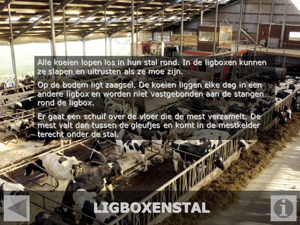 LIGBOXENSTAL Alle koeien lopen los in hun stal rond. In de ligboxen kunnen ze slapen en uitrusten als ze moe zijn. Op de bodem ligt zaagsel. De koeien
