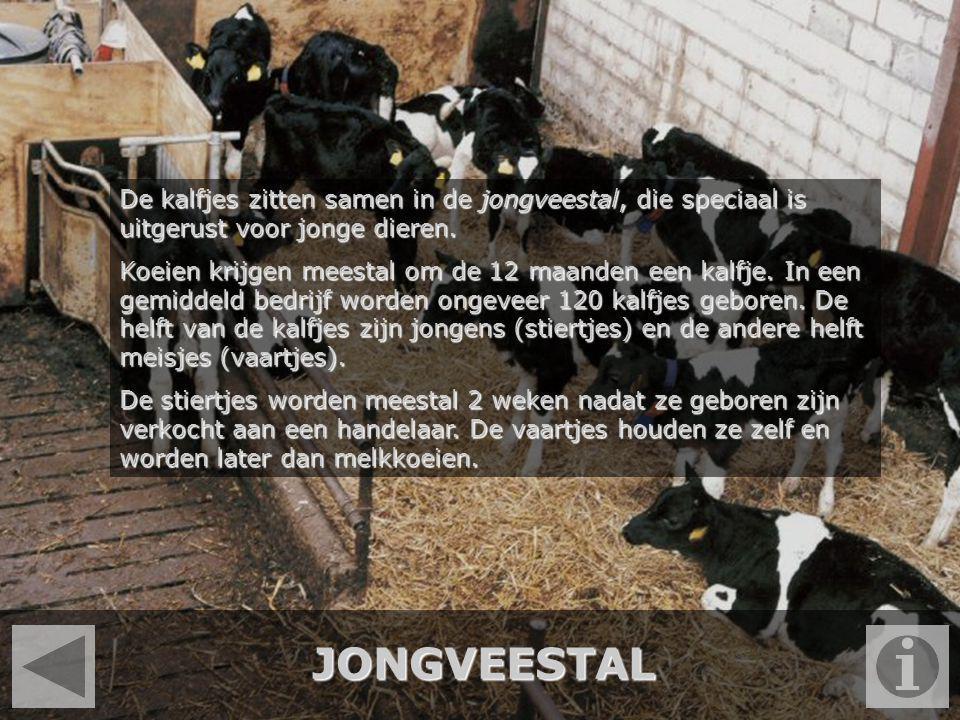 JONGVEESTAL De kalfjes zitten samen in de jongveestal, die speciaal is uitgerust voor jonge dieren. Koeien krijgen meestal om de 12 maanden een kalfje