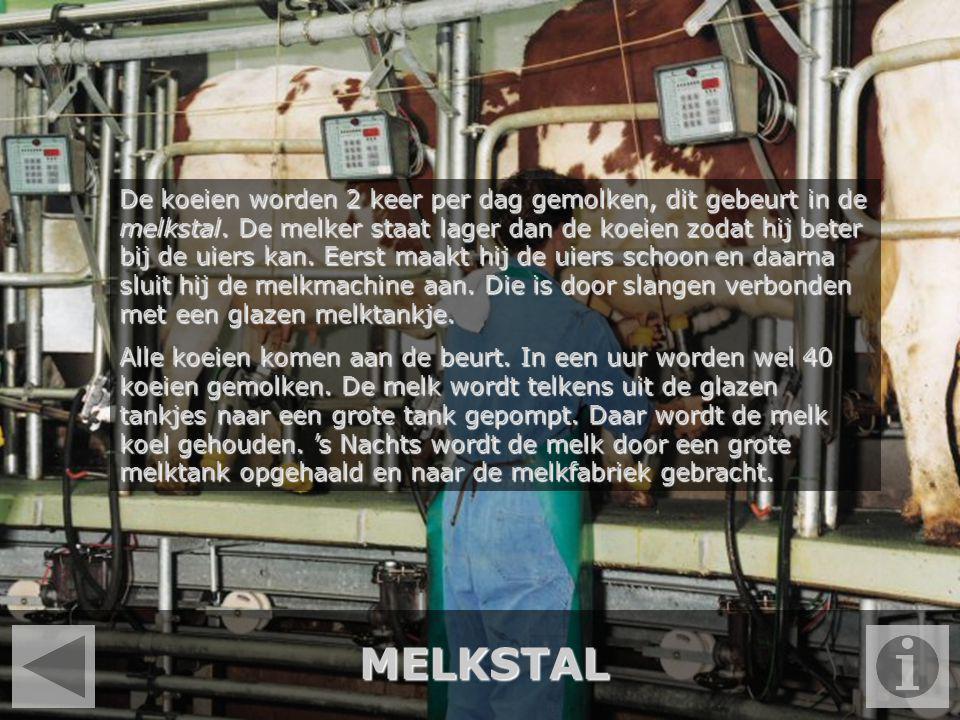 MELKSTAL De koeien worden 2 keer per dag gemolken, dit gebeurt in de melkstal. De melker staat lager dan de koeien zodat hij beter bij de uiers kan. E