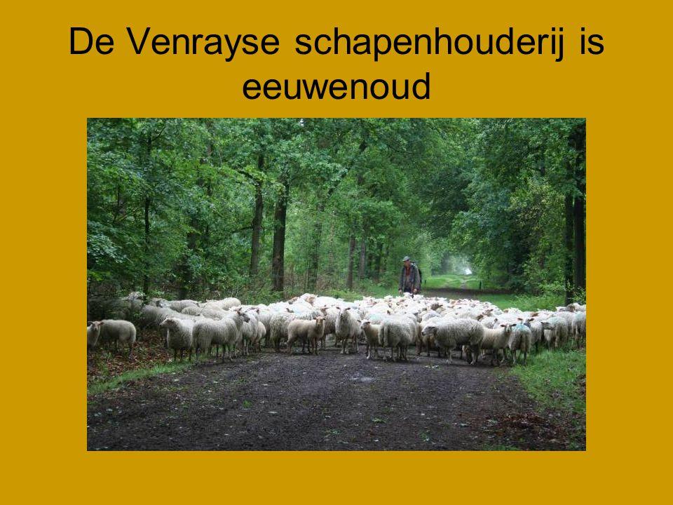 De Venrayse schapenhouderij is eeuwenoud