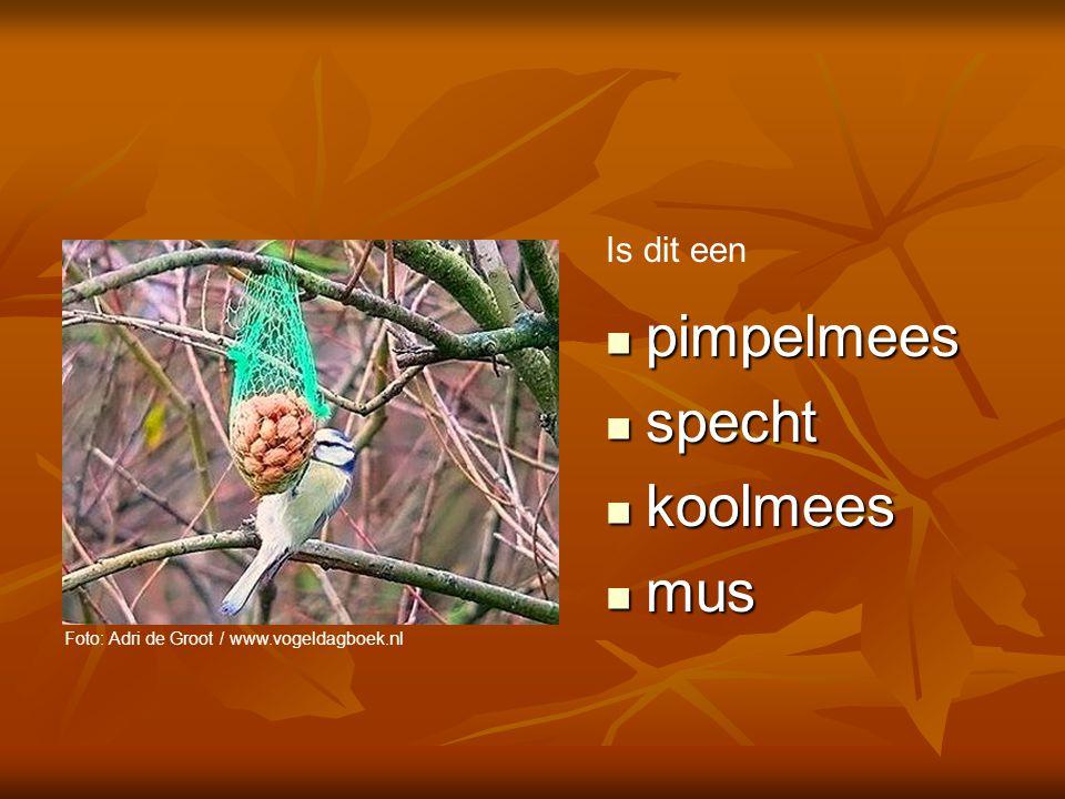 pimpelmees is het goede antwoord. Pimpelmezen zijn klein en zo lenig als acrobaten.