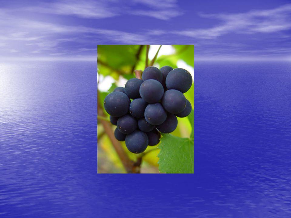 Pinot Noir: geschiedenis • Eén van de oudste druivenrassen • Bestaat al meer dan 2000 jaar • Er zijn aanwijzingen dat de druif in Bourgogne al in de vierde eeuw na Chr.