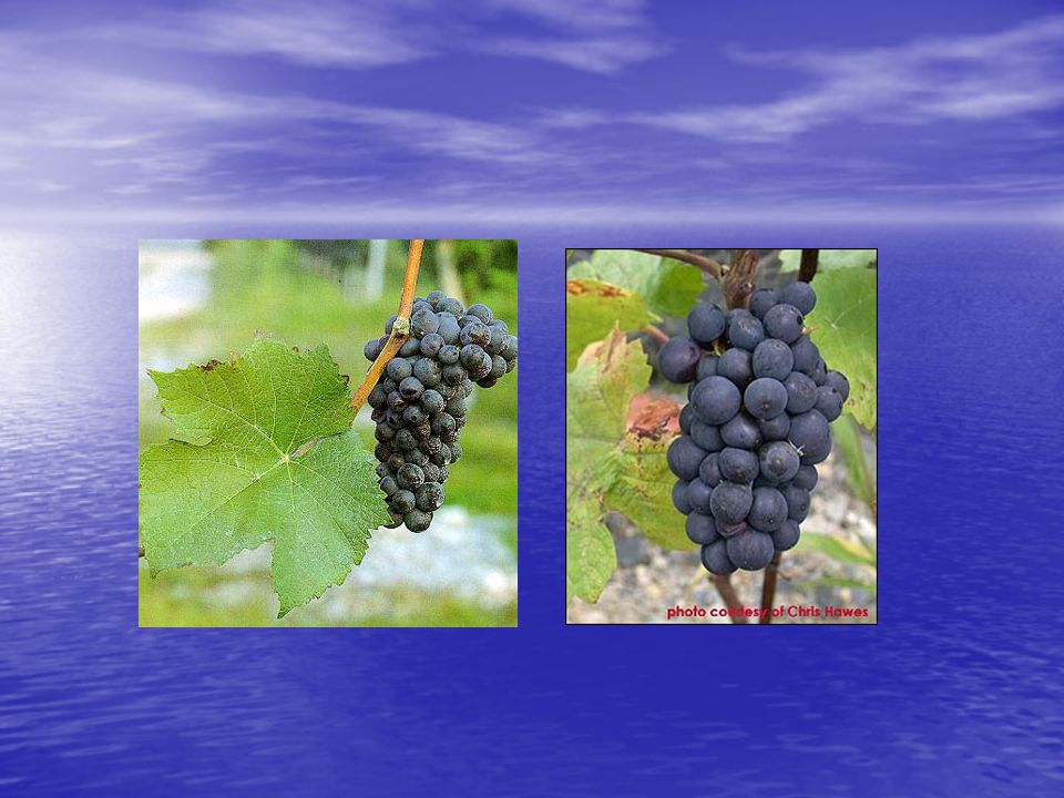 Pinot Noir: bijzonderheden • Reputatie de meest grillige en onwilligste druif ter wereld te zijn • Vroegrijp maar moet heel traag kunnen rijpen, anders geeft hij een zwak aroma • Gevoelig voor lentevorst en coulure • Meer reservatrol dan in andere blauwe druiven, reservatrol heeft een positieve invloed op de elasticiteit van de bloedvaten • Bevat veel saponines die de negatieve cholesterol zou verminderen (LDL)