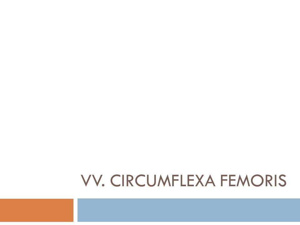 VV. CIRCUMFLEXA FEMORIS