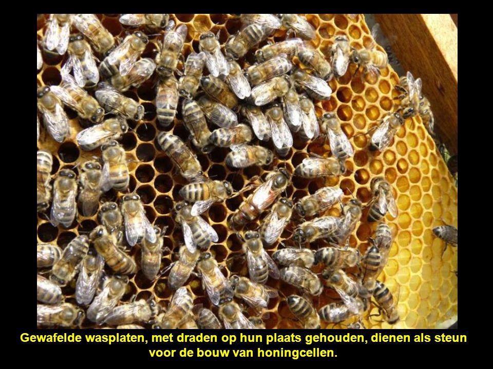 De honingcellen worden schuin gebouwd, zodat de honing er niet uit kan stromen.