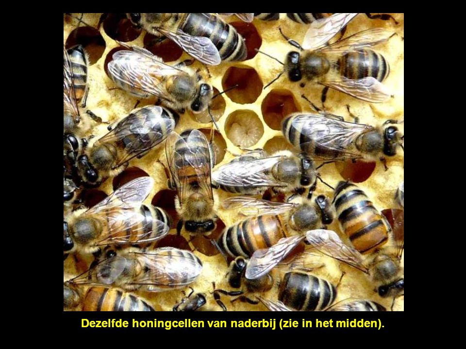 Dit kader bevat de honingcellen voor het kweken van de larven.