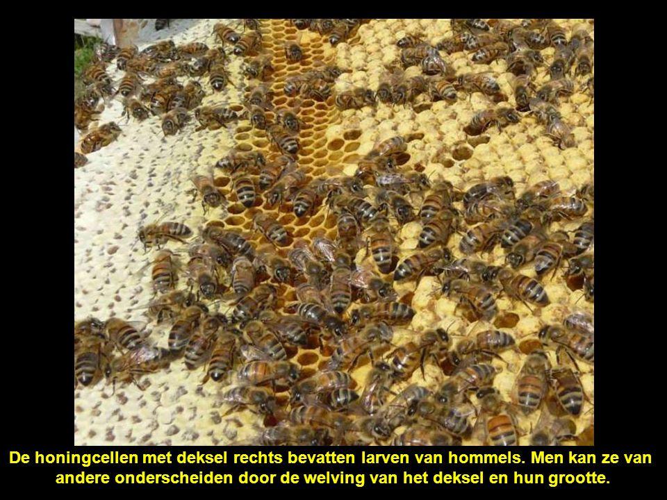 Dezelfde honingcellen van naderbij (zie in het midden).