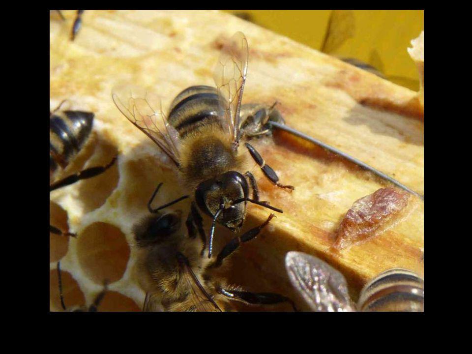 80% van de planten hebben absoluut bijen nodig voor de bevruchting.