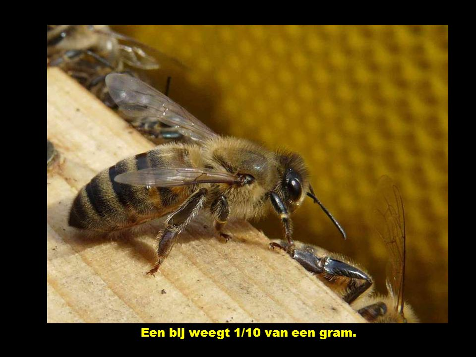 De KONINGIN! Hare majesteit kan tot 2.000 eitjes per dag leggen! Ze leeft 4 à 5 jaar.