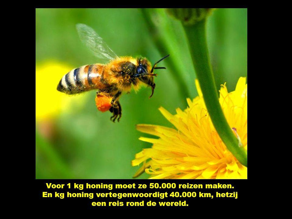 Ze brengt de helft van haar gewicht – 0,05 gram – naar de bijenkorf. Ze maakt een twintigtal reizen per dag.