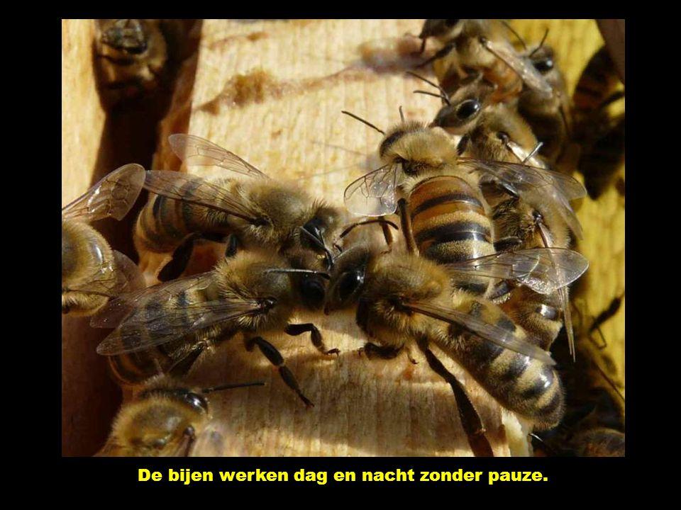 Voor 1 kg honing moet ze 50.000 reizen maken. En kg honing vertegenwoordigt 40.000 km, hetzij een reis rond de wereld.