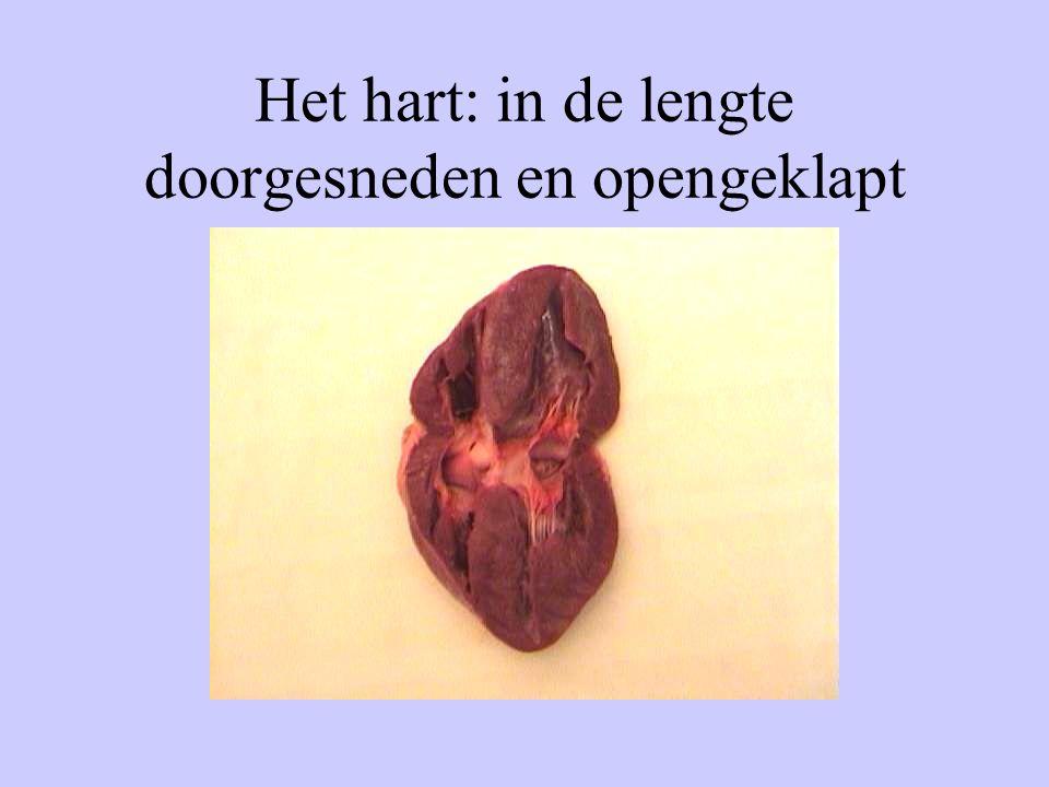 Het hart: in de lengte doorgesneden en opengeklapt