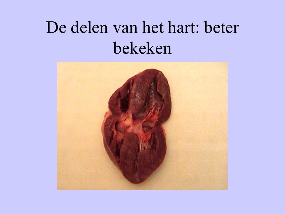 De delen van het hart: beter bekeken