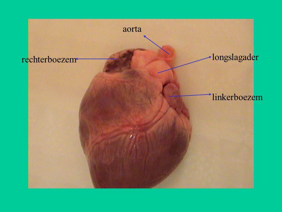 rechterboezem linkerboezem longslagader aorta