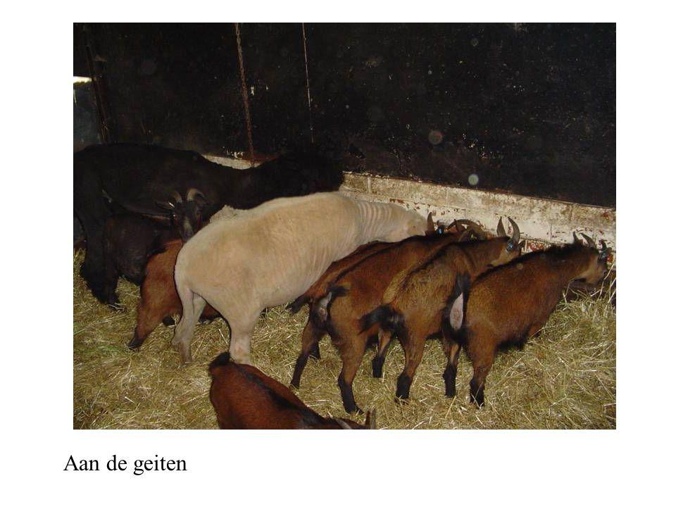 Aan de geiten