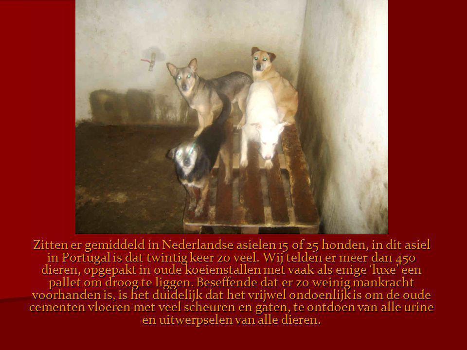 Zitten er gemiddeld in Nederlandse asielen 15 of 25 honden, in dit asiel in Portugal is dat twintig keer zo veel. Wij telden er meer dan 450 dieren, o