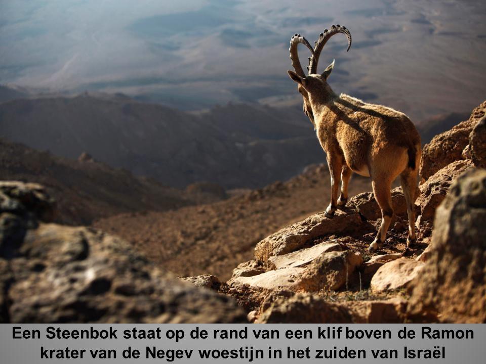 Een Steenbok staat op de rand van een klif boven de Ramon krater van de Negev woestijn in het zuiden van Israël