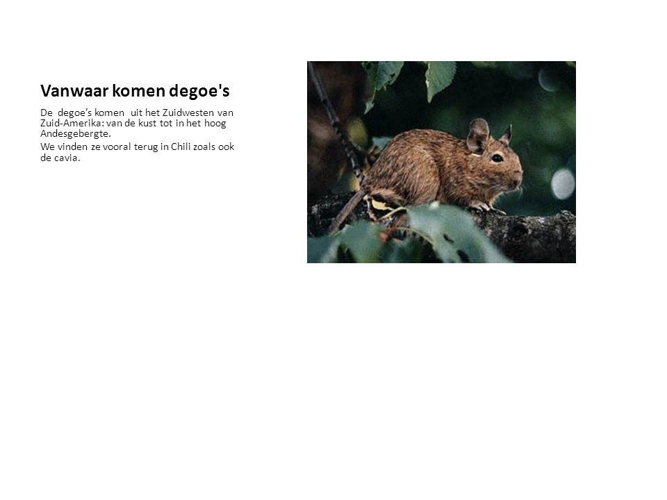 De degoe De degoe is een knaagdier en lijkt heel sterk op een rat, een gerbil en een cavia. De betekenis in het Nederlands is DE TROMPETSTAARTRAT. Zij