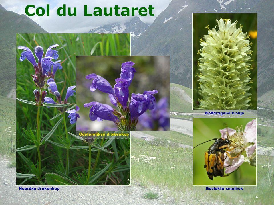Col du Lautaret Knots- of KogelorchisBrede orchis Brede orchis subsp. alpestris 3