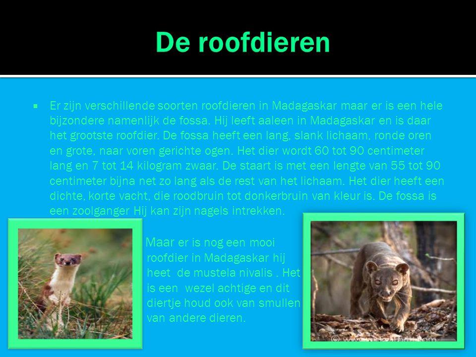  Er zijn verschillende soorten roofdieren in Madagaskar maar er is een hele bijzondere namenlijk de fossa. Hij leeft aaleen in Madagaskar en is daar