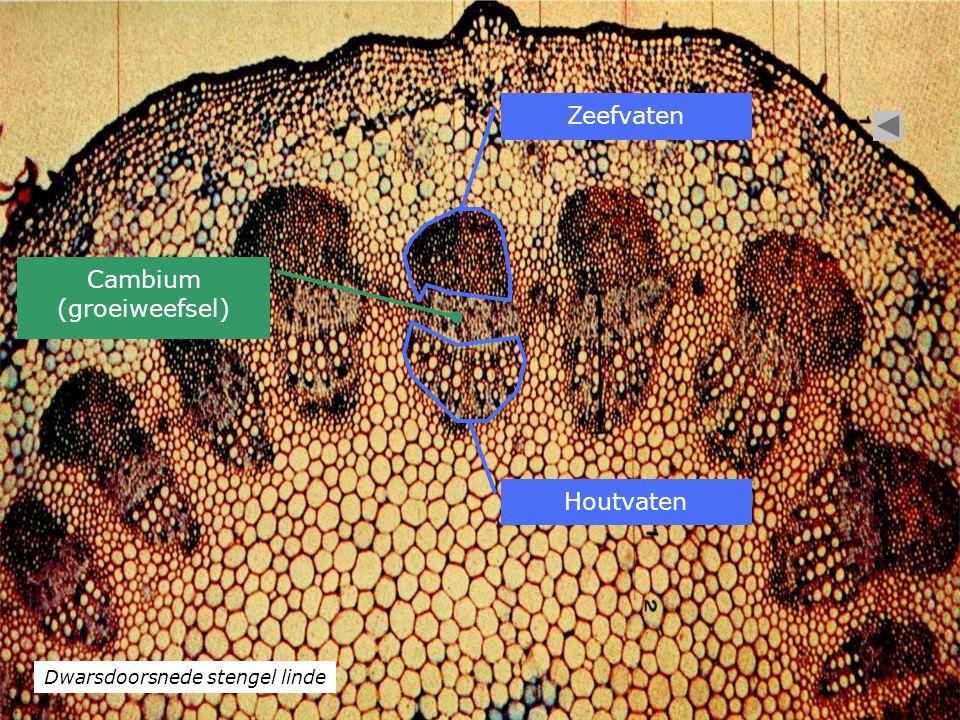 Dwarsdoorsnede stengel linde Houtvaten Zeefvaten Cambium (groeiweefsel)