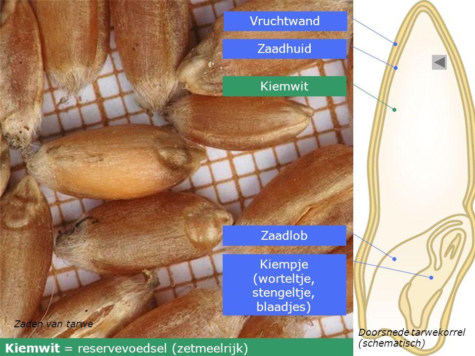 Zaden van tarwe Doorsnede tarwekorrel (schematisch) Vruchtwand Zaadhuid Kiemwit Zaadlob Kiempje (worteltje, stengeltje, blaadjes) Kiemwit = reservevoe