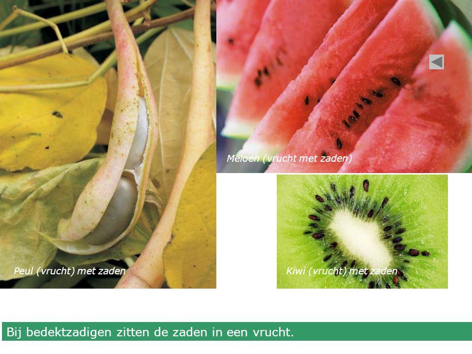 Peul (vrucht) met zaden Meloen (vrucht met zaden) Kiwi (vrucht) met zaden Bij bedektzadigen zitten de zaden in een vrucht.