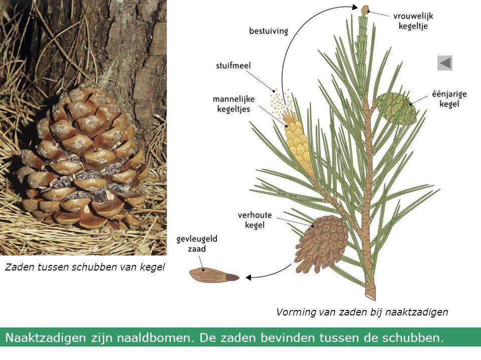 Zaden tussen schubben van kegel Vorming van zaden bij naaktzadigen Naaktzadigen zijn naaldbomen. De zaden bevinden tussen de schubben.