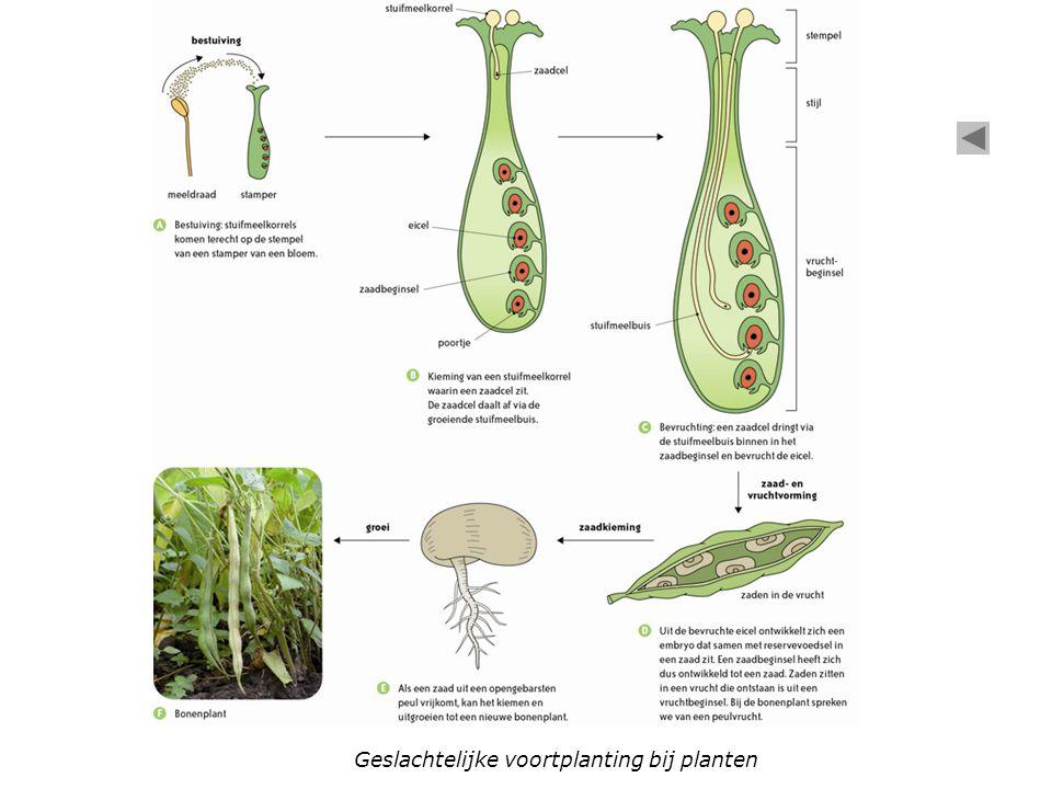 Geslachtelijke voortplanting bij planten