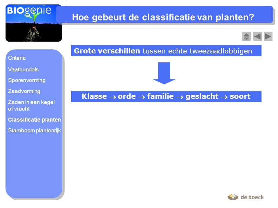 Hoe gebeurt de classificatie van planten? Grote verschillen tussen echte tweezaadlobbigen Klasse  orde  familie  geslacht  soort Classificatie pla