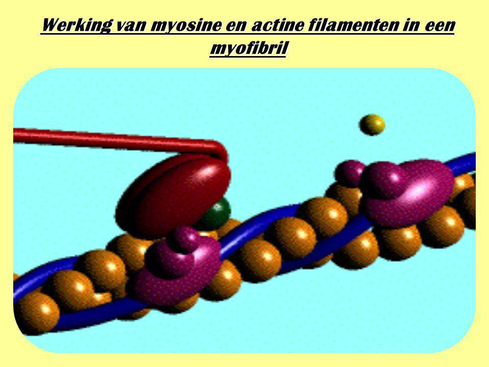 Werking van myosine en actine filamenten in een myofibril