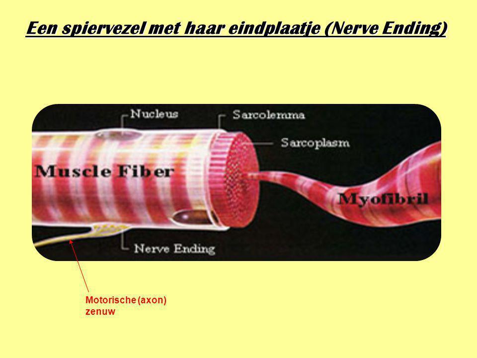 Motorische eindplaatjes Vertrek en aankomst van de motorische zenuw 1spiervezel 2axon