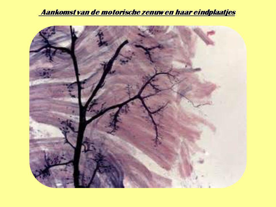 Aankomst van de motorische zenuw en haar eindplaatjes Aankomst van de motorische zenuw en haar eindplaatjes