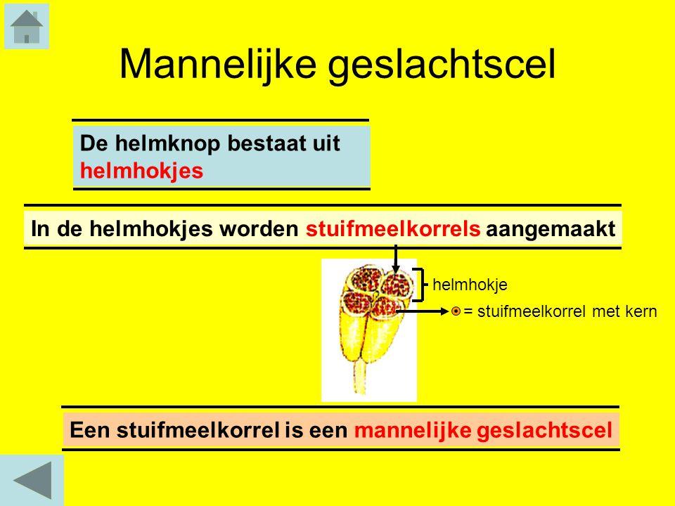 Mannelijke geslachtscel Een stuifmeelkorrel is een mannelijke geslachtscelDe helmknop bestaat uit helmhokjes helmhokje In de helmhokjes worden stuifme