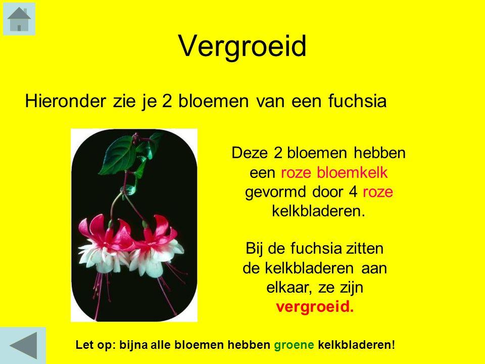 Vergroeid Hieronder zie je 2 bloemen van een fuchsia Bij de fuchsia zitten de kelkbladeren aan elkaar, ze zijn vergroeid. Deze 2 bloemen hebben een ro