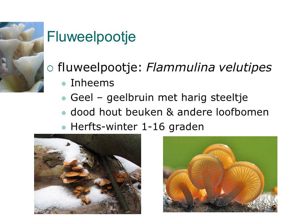 Fluweelpootje  fluweelpootje: Flammulina velutipes  Inheems  Geel – geelbruin met harig steeltje  dood hout beuken & andere loofbomen  Herfts-win