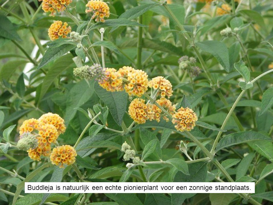 Buddleja is natuurlijk een echte pionierplant voor een zonnige standplaats.